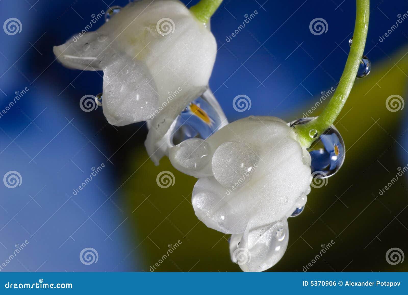 Una macro dei due lily-of-the-valley