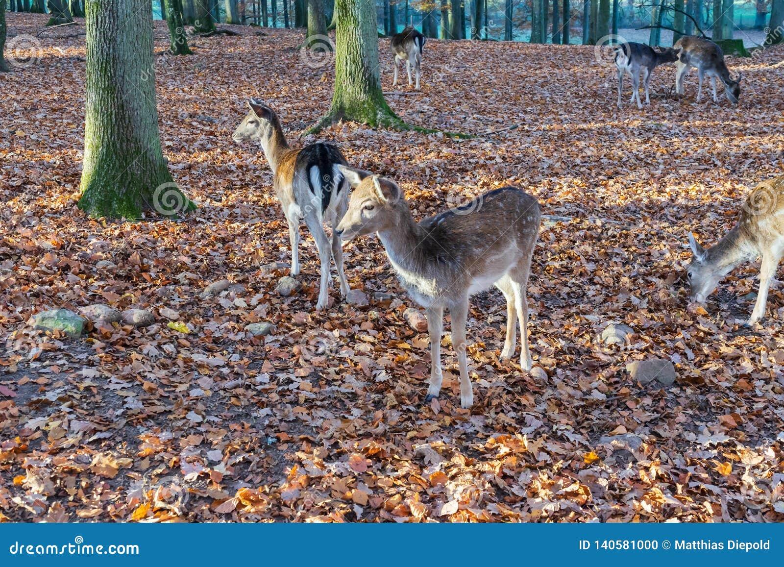 Una manada de ciervos en el bosque otoñal