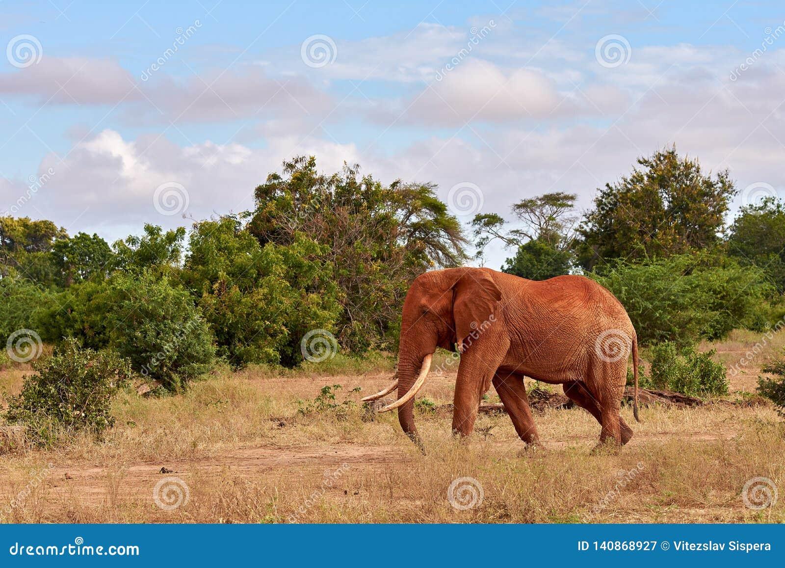 Una manada de elefantes es salvaje y de palpitación en safari en Kenia, África Árboles e hierba