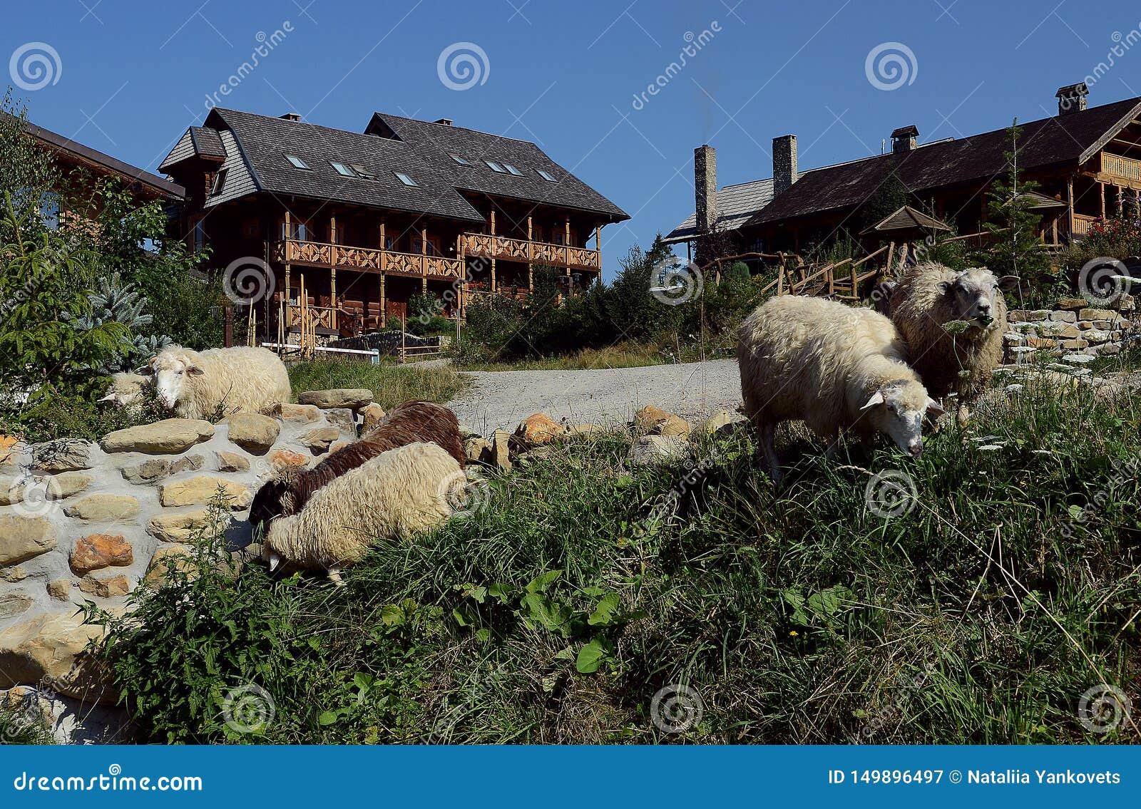 Una manada de ovejas pasta en las cuestas contra el contexto de casas de madera hermosas
