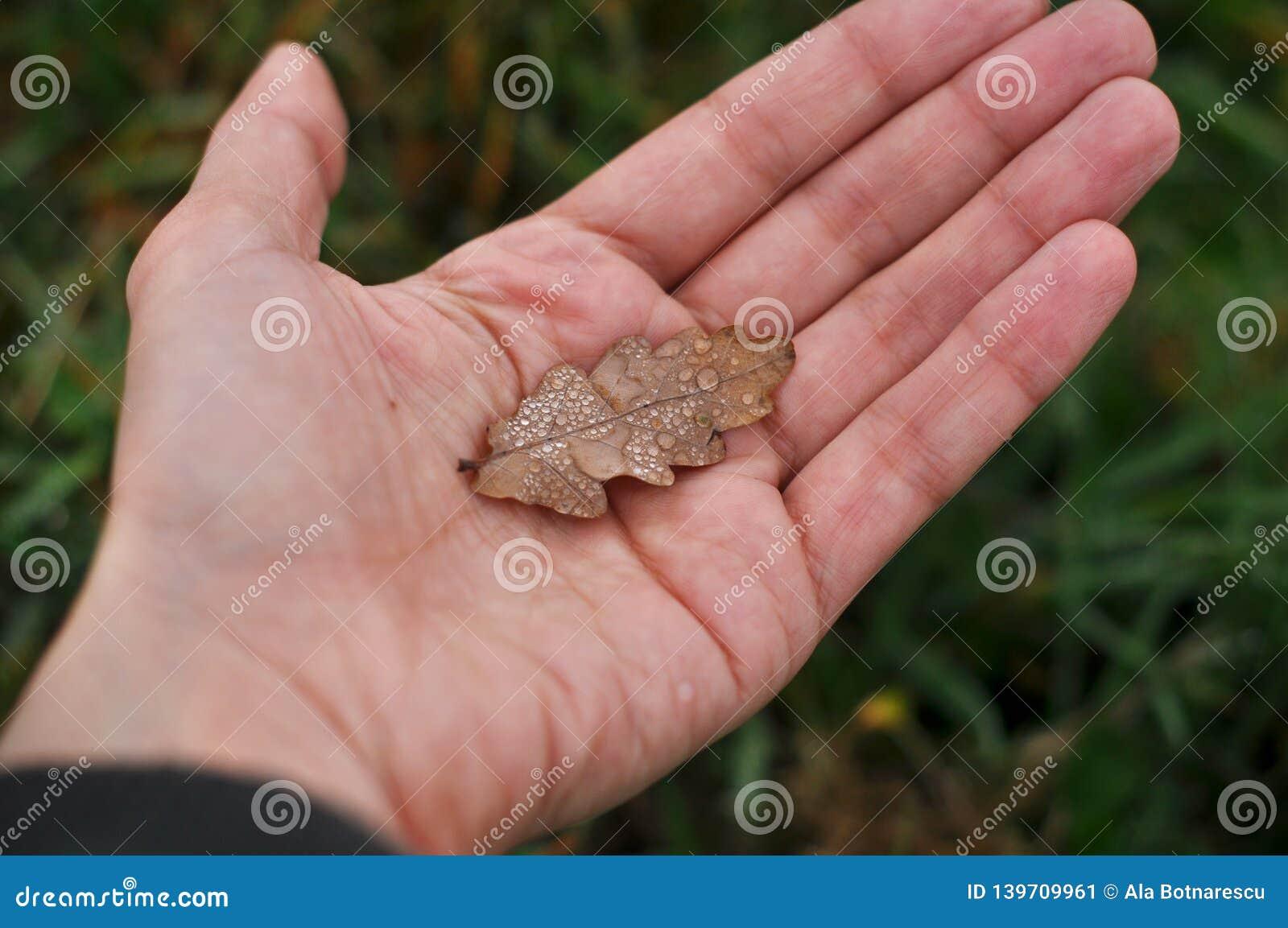 Una mano femenina sostiene una hoja secada del roble Hierba verde borrosa como el fondo