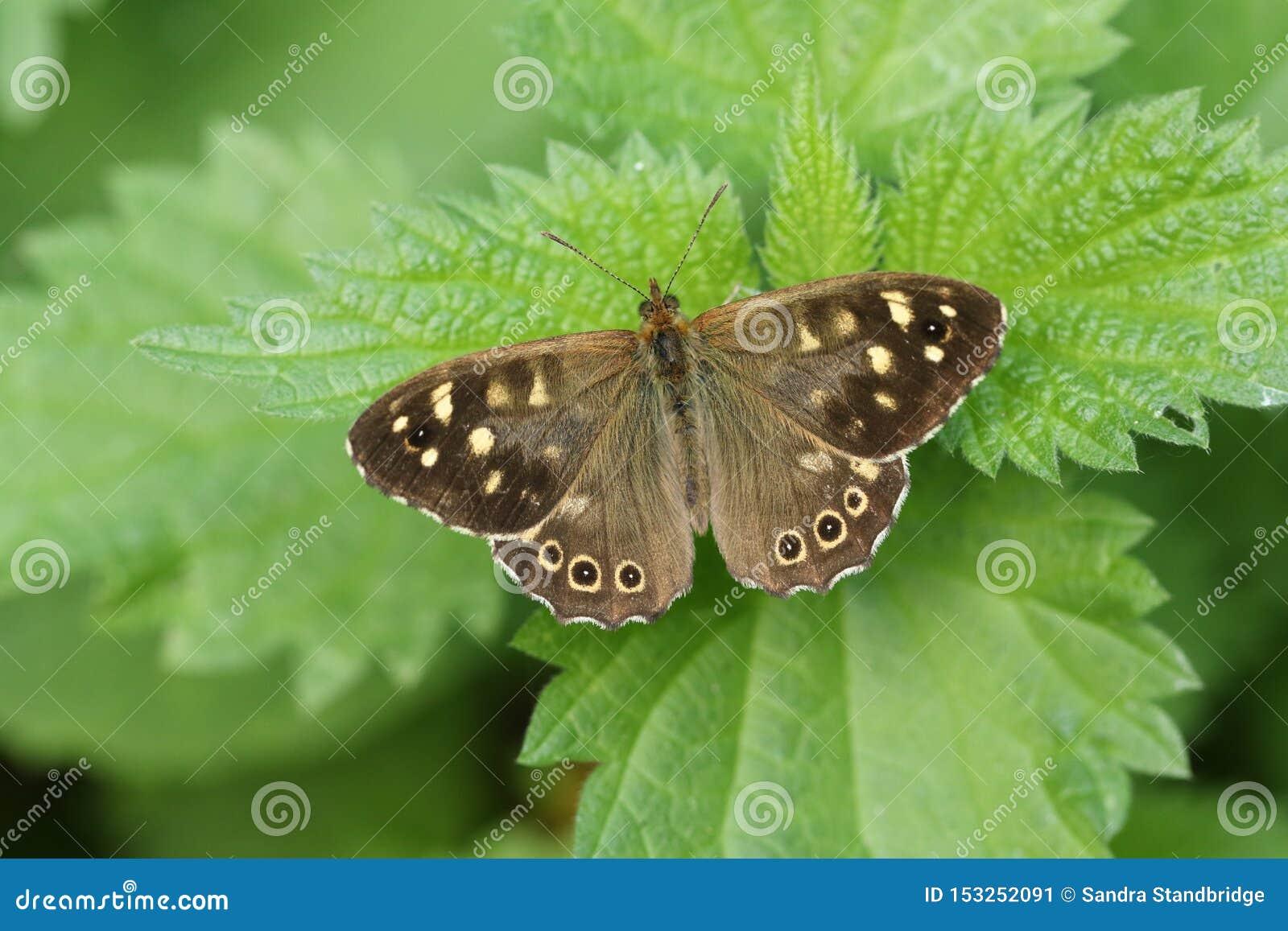 Una mariposa de madera manchada hermosa, aegeria de Pararge, abriendo sus alas encaramadas en una hoja de la ortiga tacaña