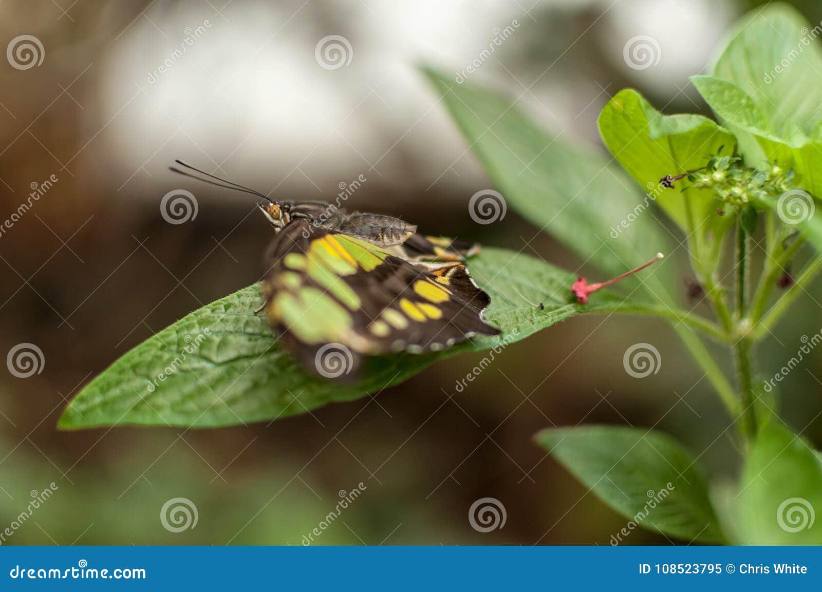 Una mariposa verde y amarilla de la malaquita