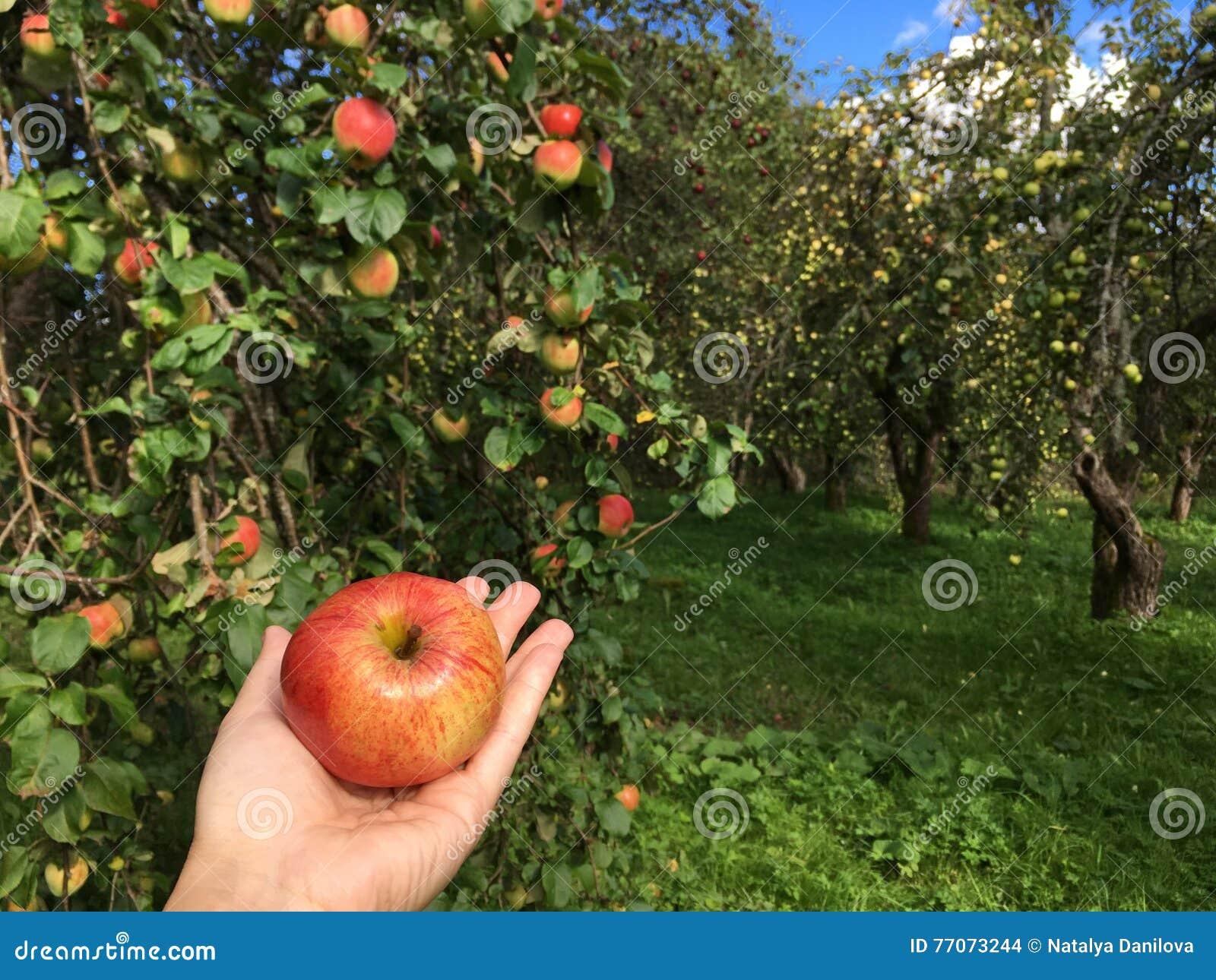 Una mela in sua mano