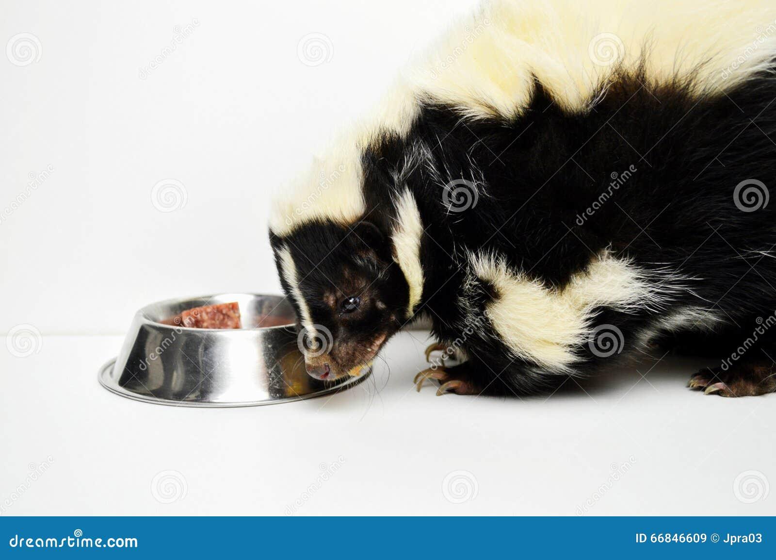Una mofeta del animal doméstico