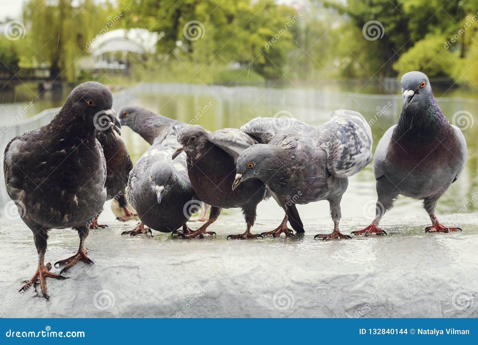 Una moltitudine di piccioni nel parco nella pioggia