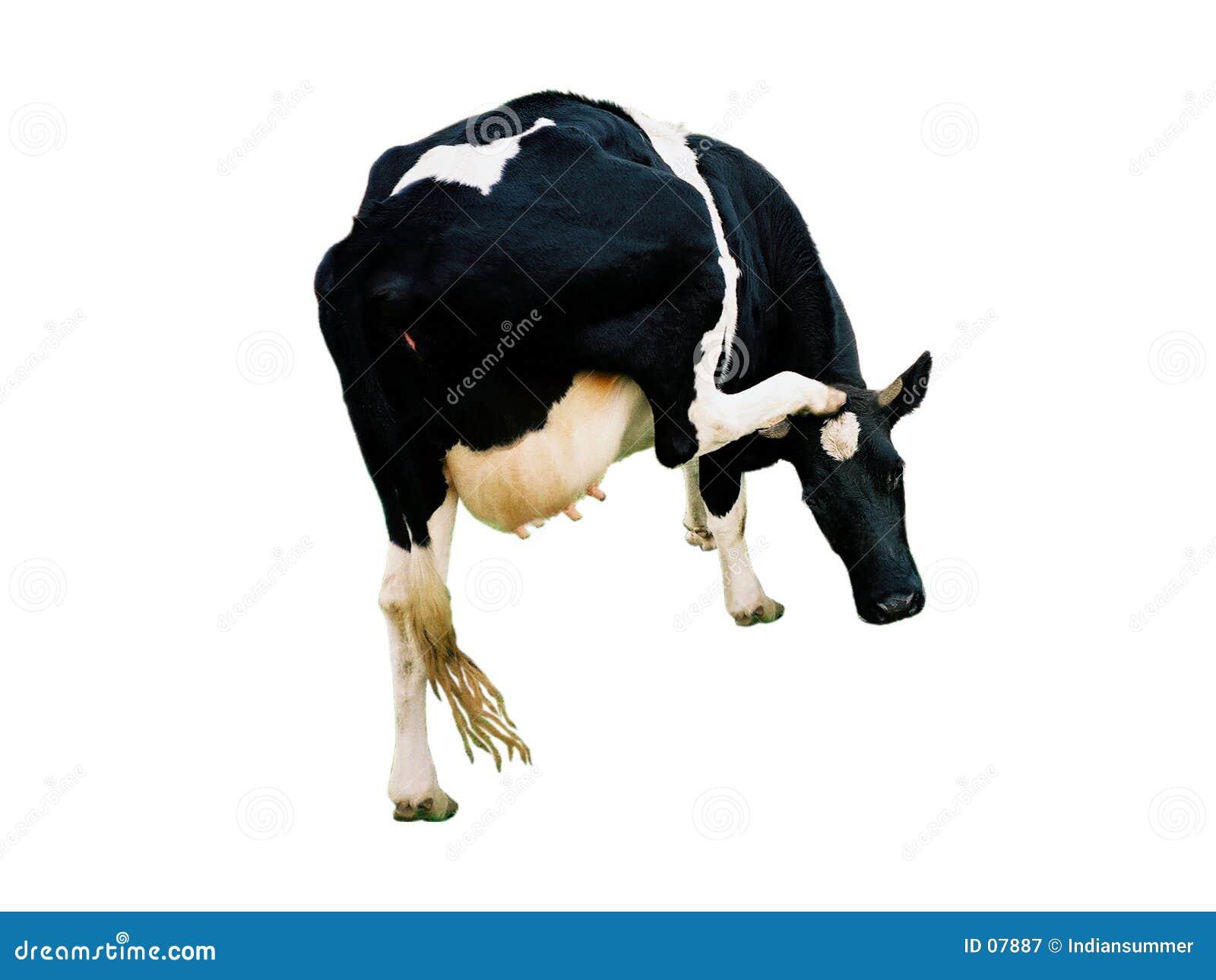 Una mucca, isolata