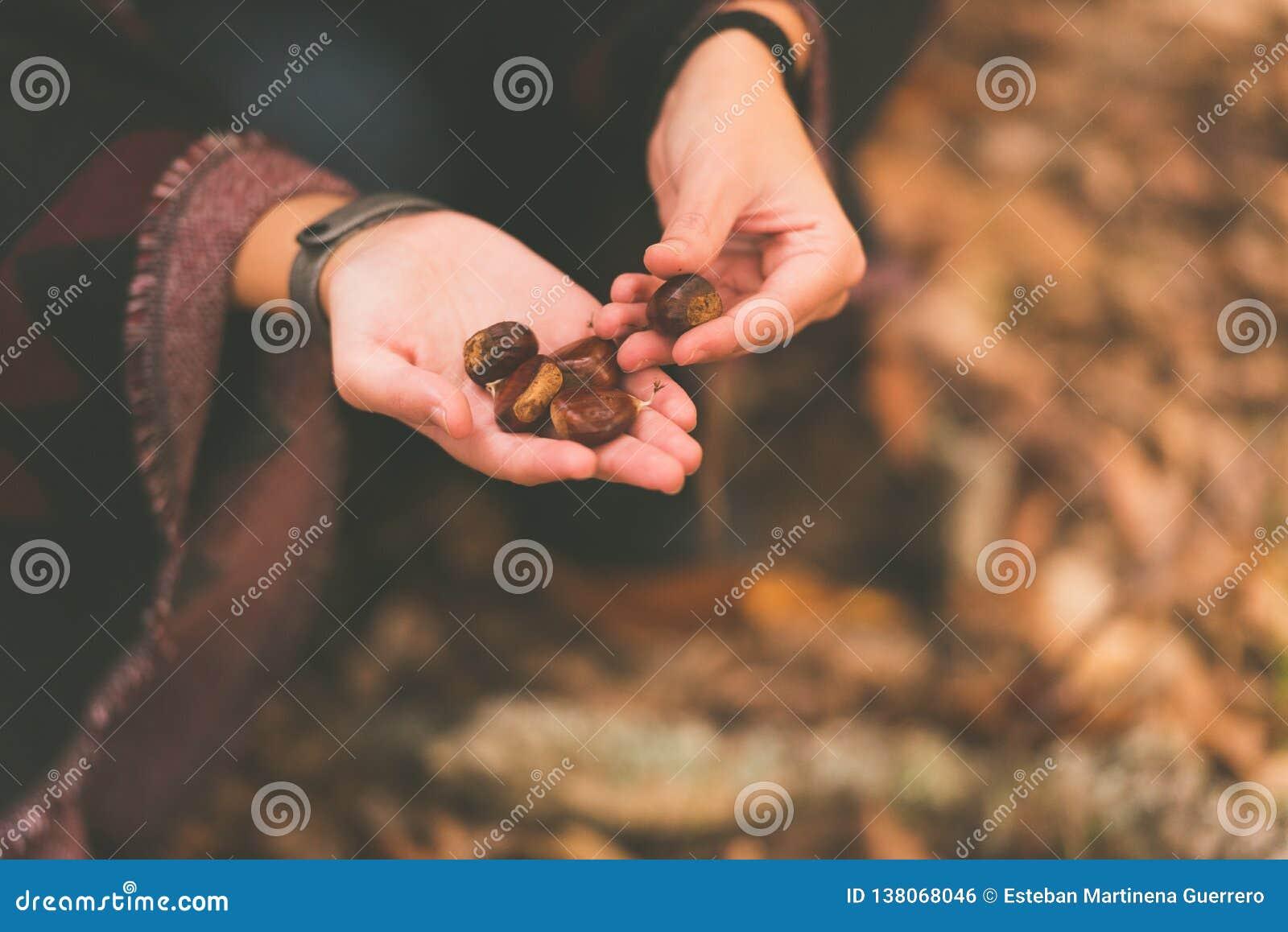 Una mujer joven coge las castañas caidas en la tierra en un bosque otoñal