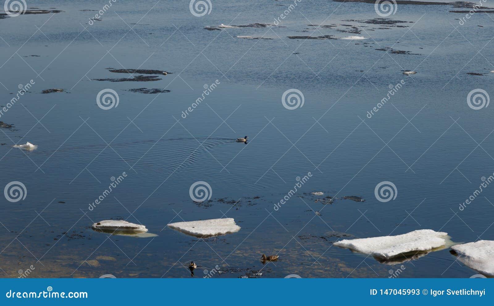 Una multitud de los patos salvajes que nadan en el r?o despu?s de invierno Los patos nadan en agua helada del invierno