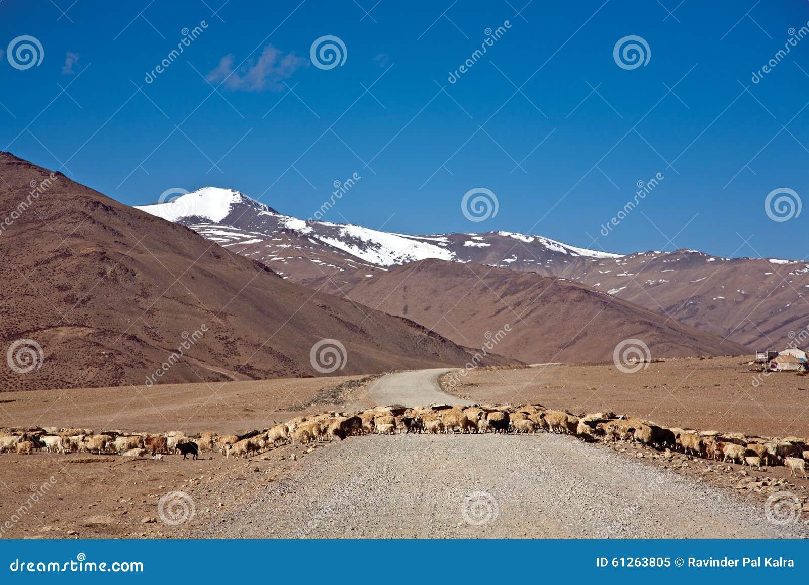 Una multitud de ovejas está cruzando más claramente en la carretera de Leh-Manali, Ladakh, Jammu y Cachemira, la India