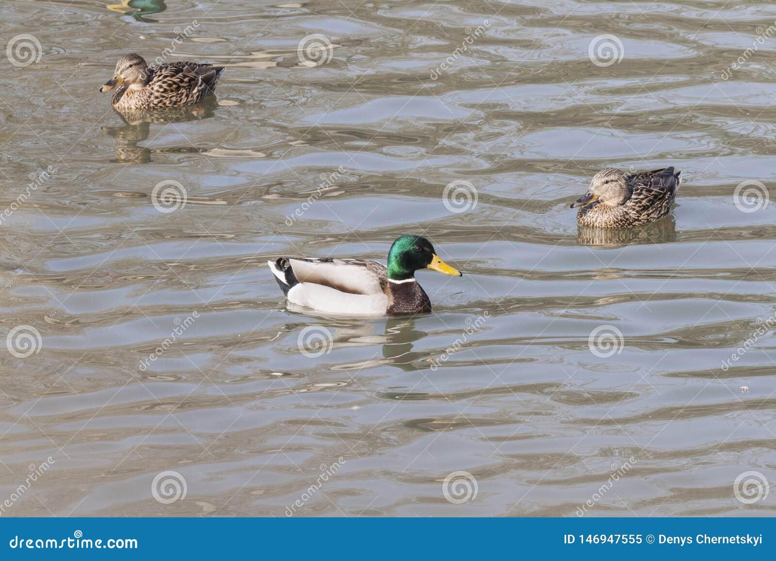 Una multitud de patos salvajes nada en el r?o