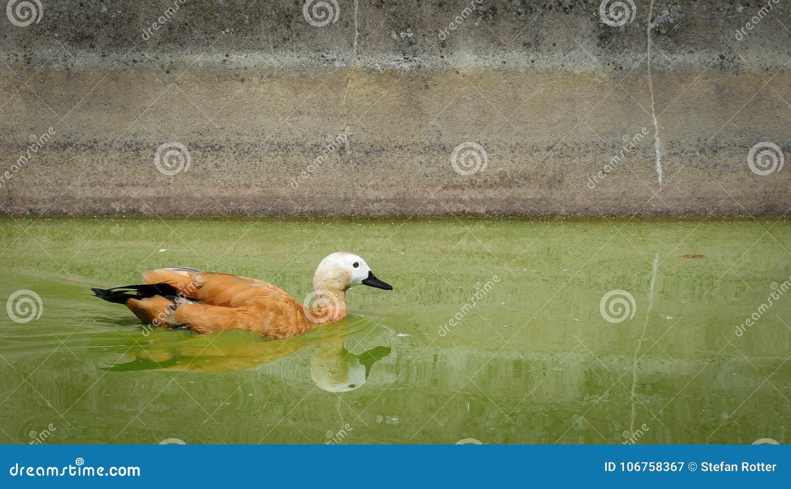 Una natación rubicunda del shelduck en una charca
