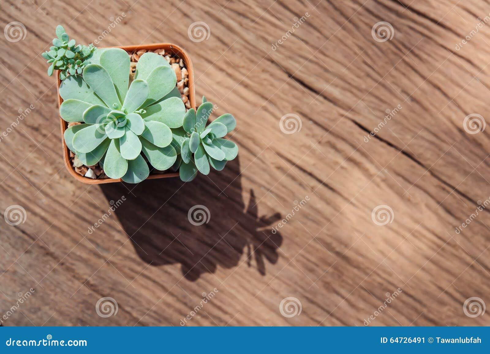 Una natura morta di tre piante del cactus su fondo di legno d annata Tex