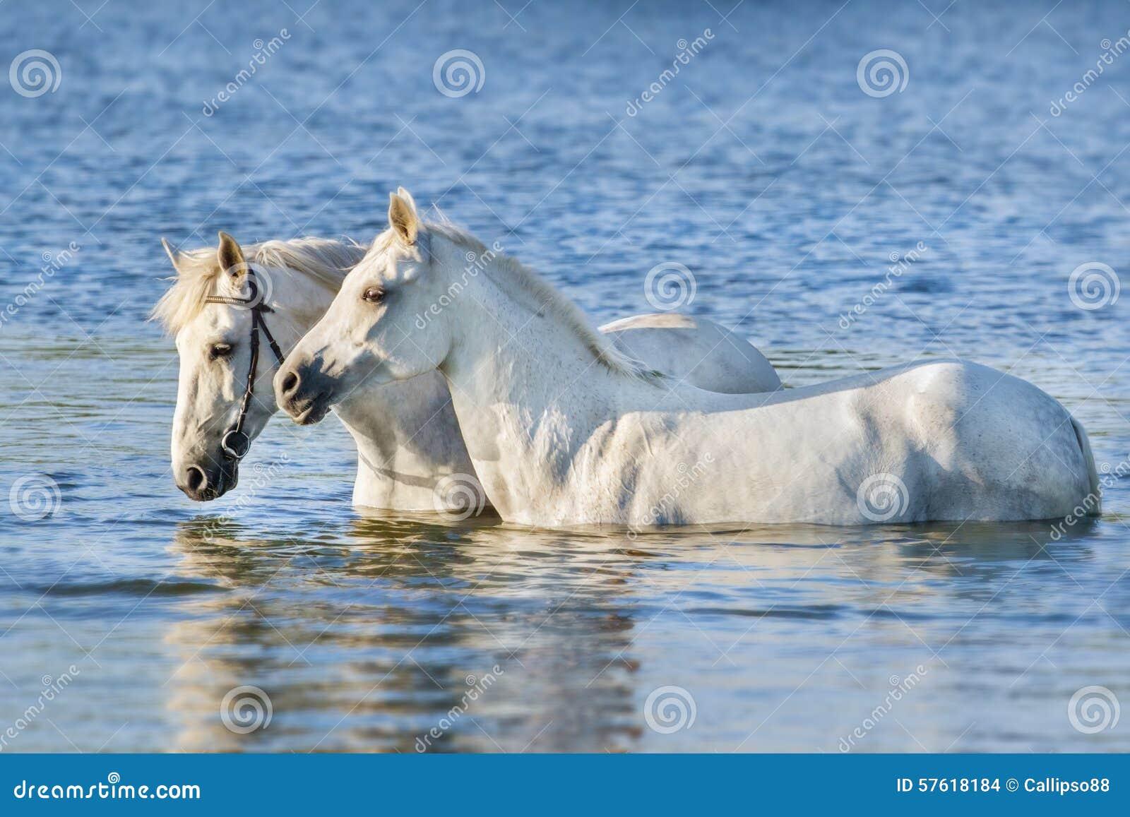 Una nuotata di due cavalli bianchi in acqua