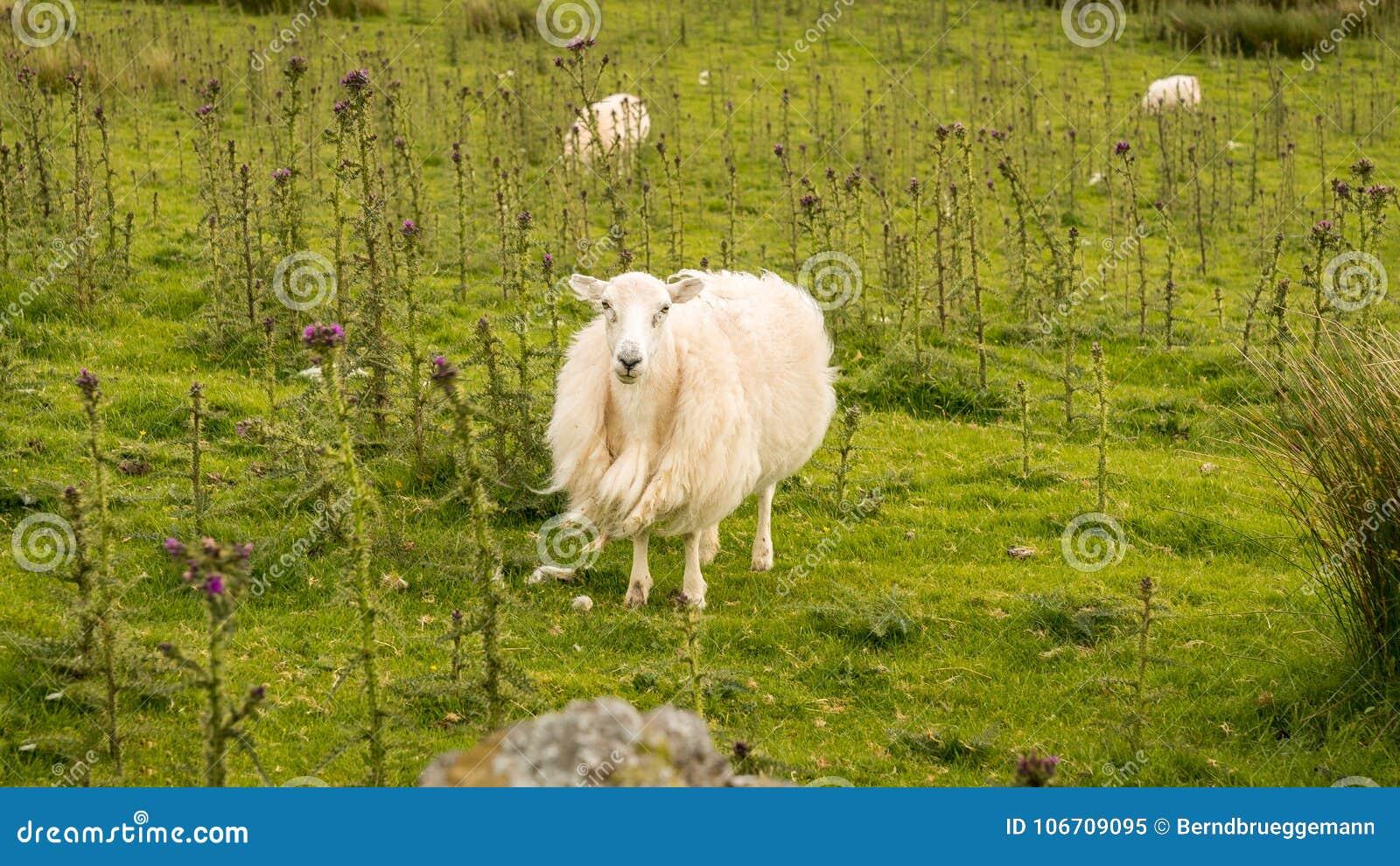 Una oveja curiosa en un prado