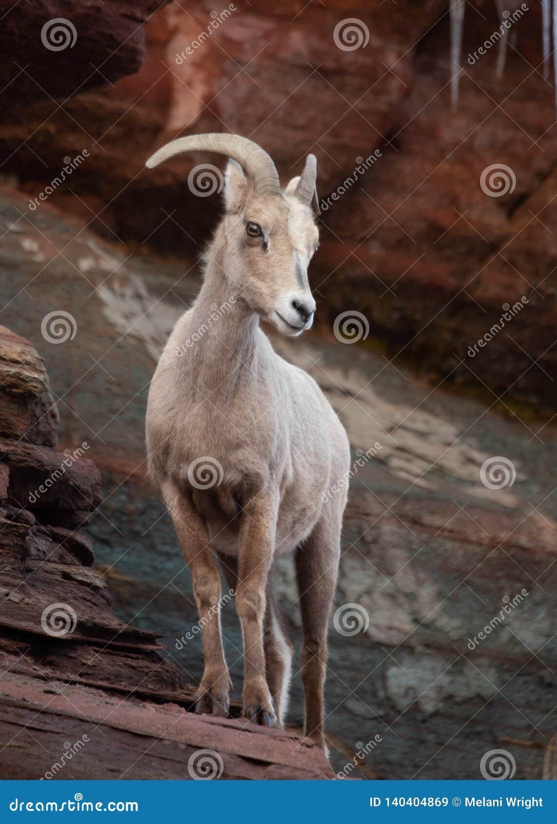 Una oveja de cuernos grande de las ovejas del desierto se coloca en una repisa de la piedra arenisca que mira abajo y a la izquie