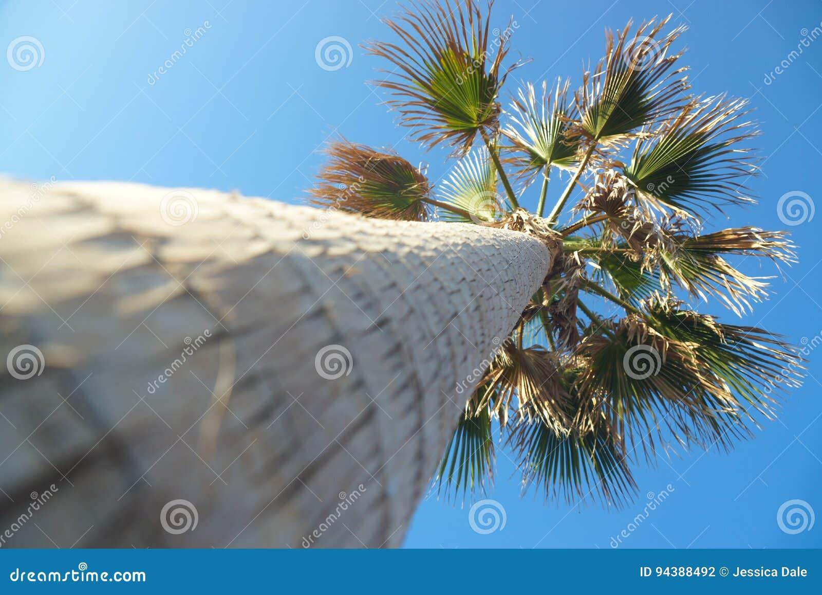 Una palma in Tenerife, Spagna
