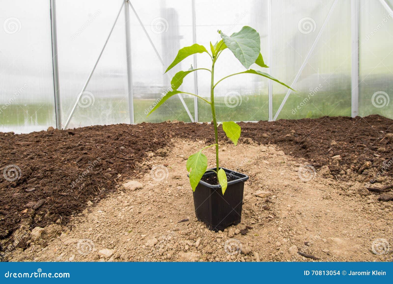Una paprica della piantina (capsico, peperoni) in piccolo rea della serra