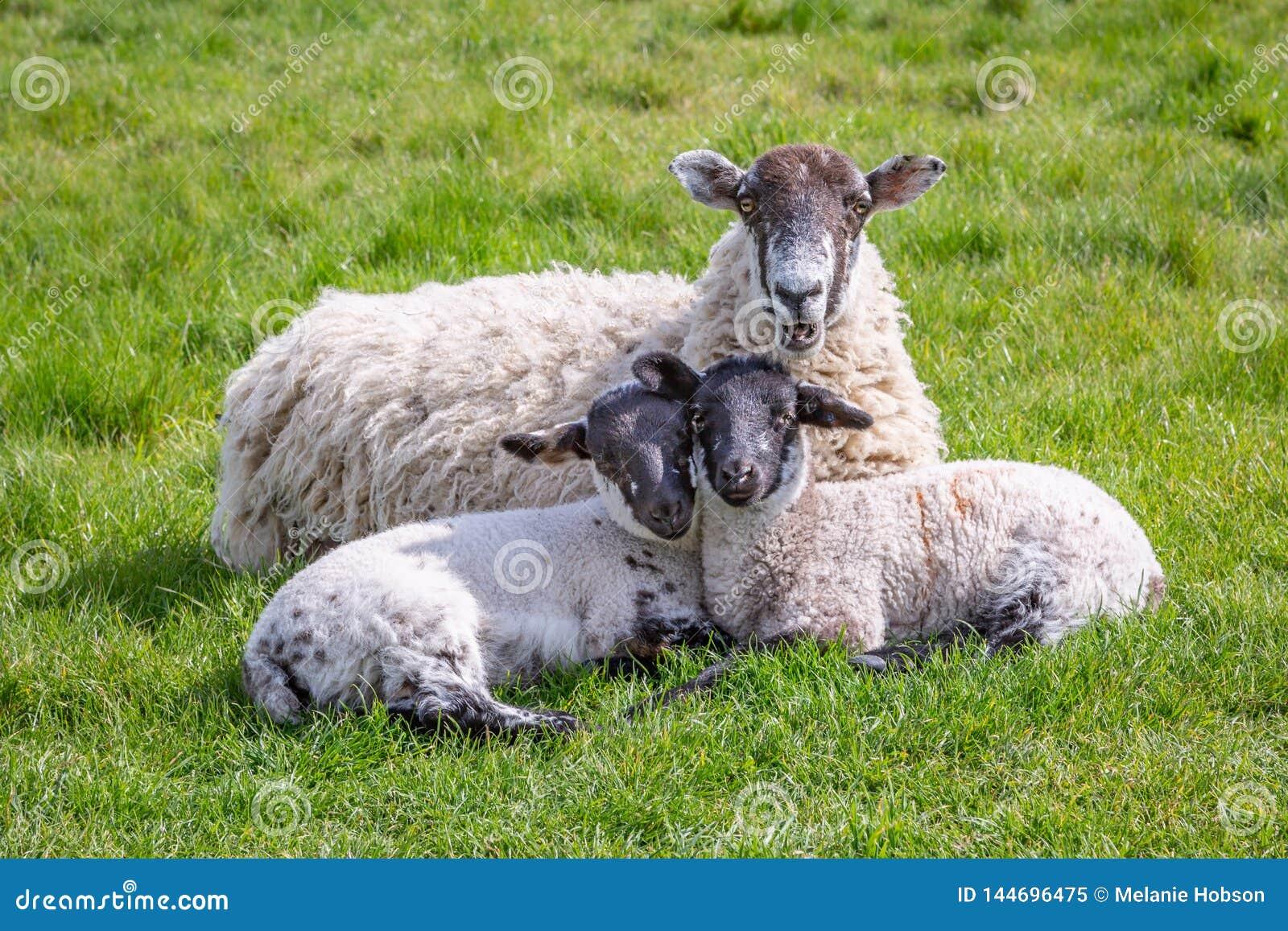 Una pecora ed i suoi bambini