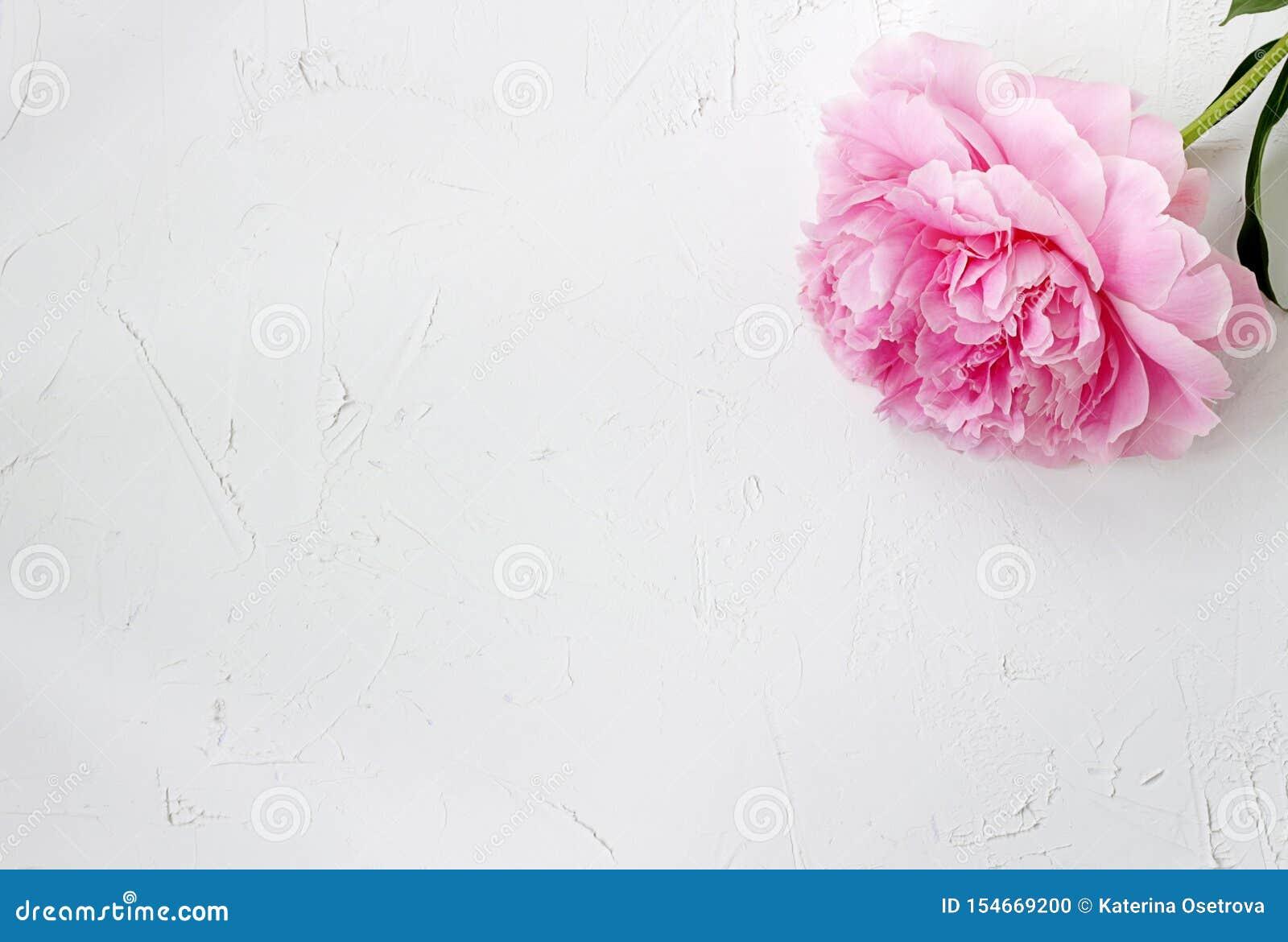 Una peonía rosada floreciente sola en un fondo de textura blanco áspero
