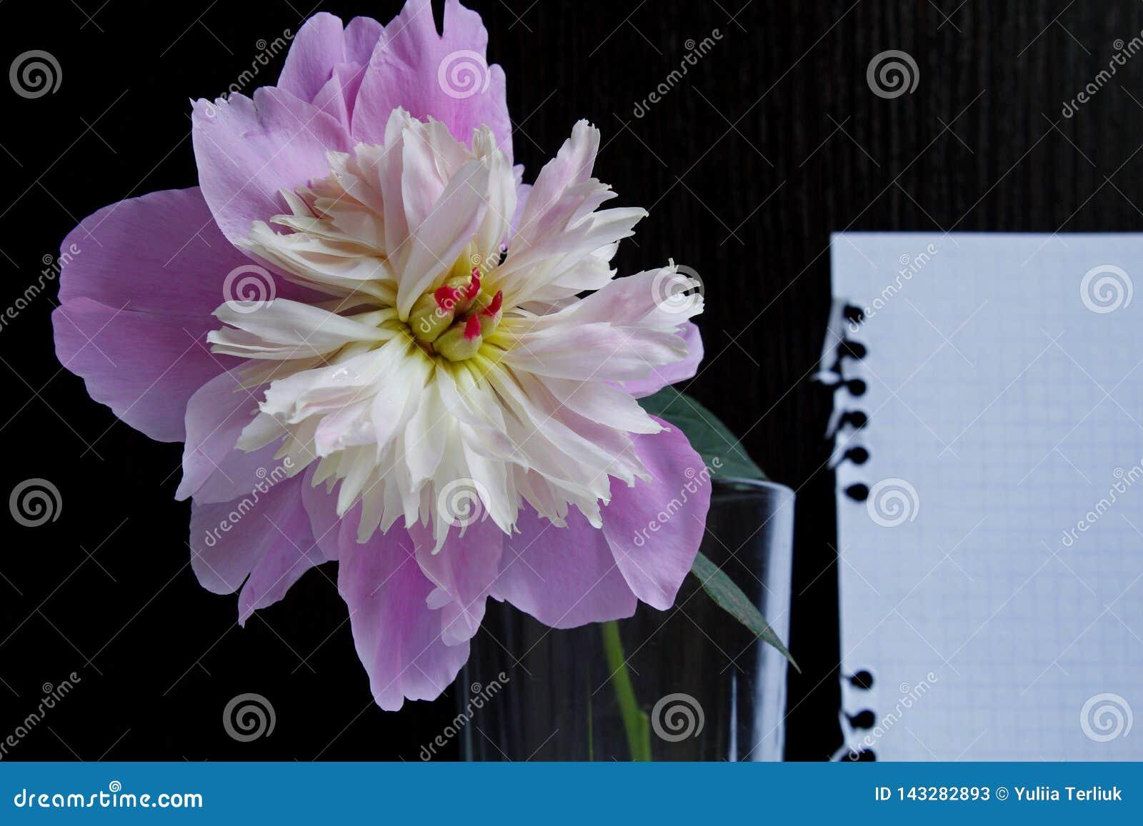 Una peonia rosa in un vetro su un fondo di legno nero con un foglio di carta bianco
