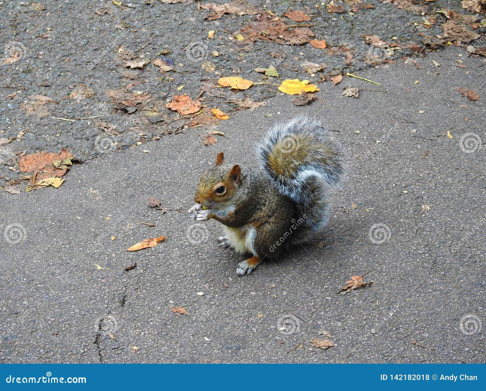 Una pequeña ardilla que sostiene y que come una nuez en el parque
