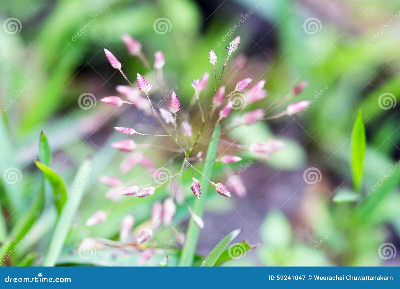 Download Una Pequeña Flor Púrpura De La Hierba En Macro Imagen de archivo - Imagen de pink, cierre: 59241047