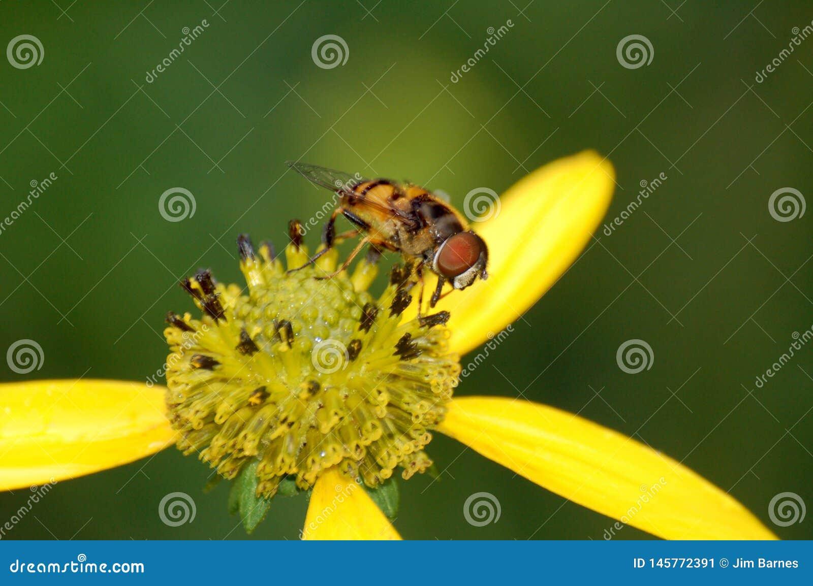 Una pequeña mosca en una flor amarilla