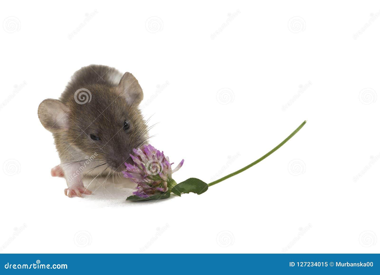 Una pequeña rata del dumbo que come la flor aislada en blanco