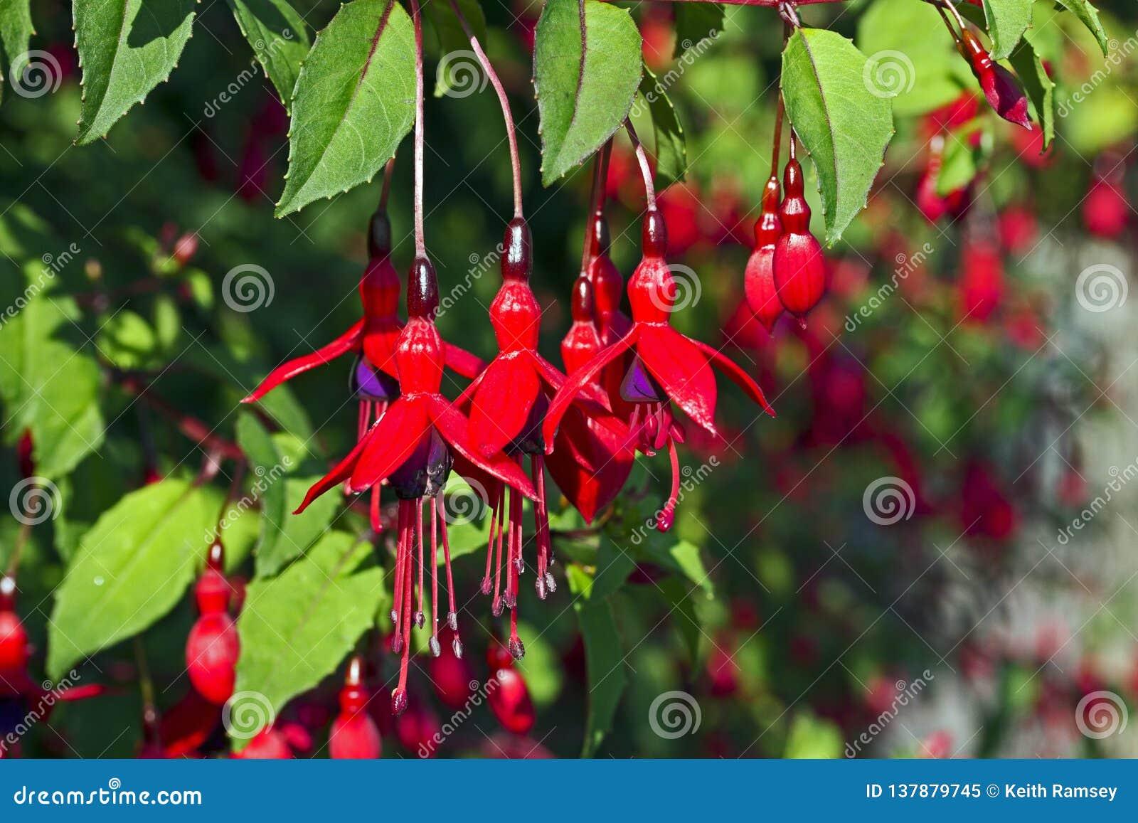 Una pianta fucsia in fiore