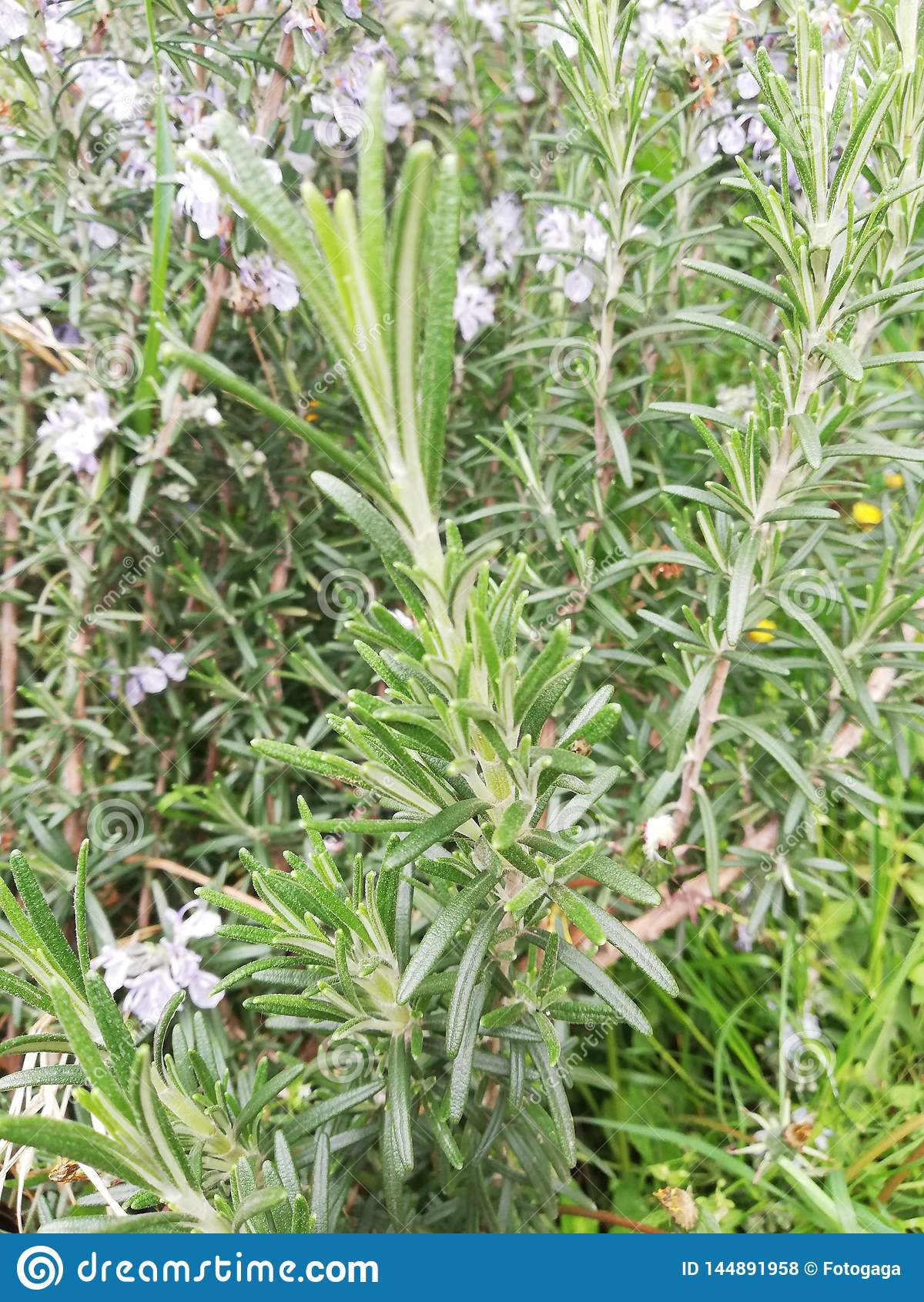 Una pianta ottimistica e sana dei rosmarini
