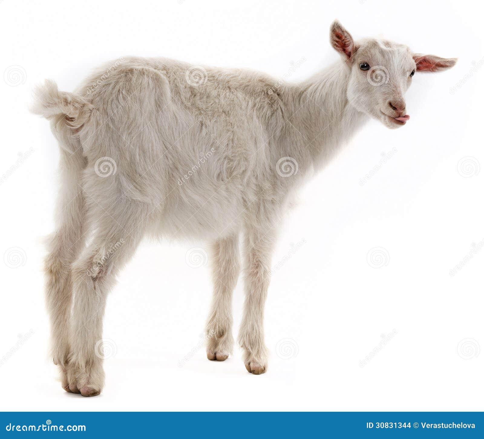 Una piccola capra