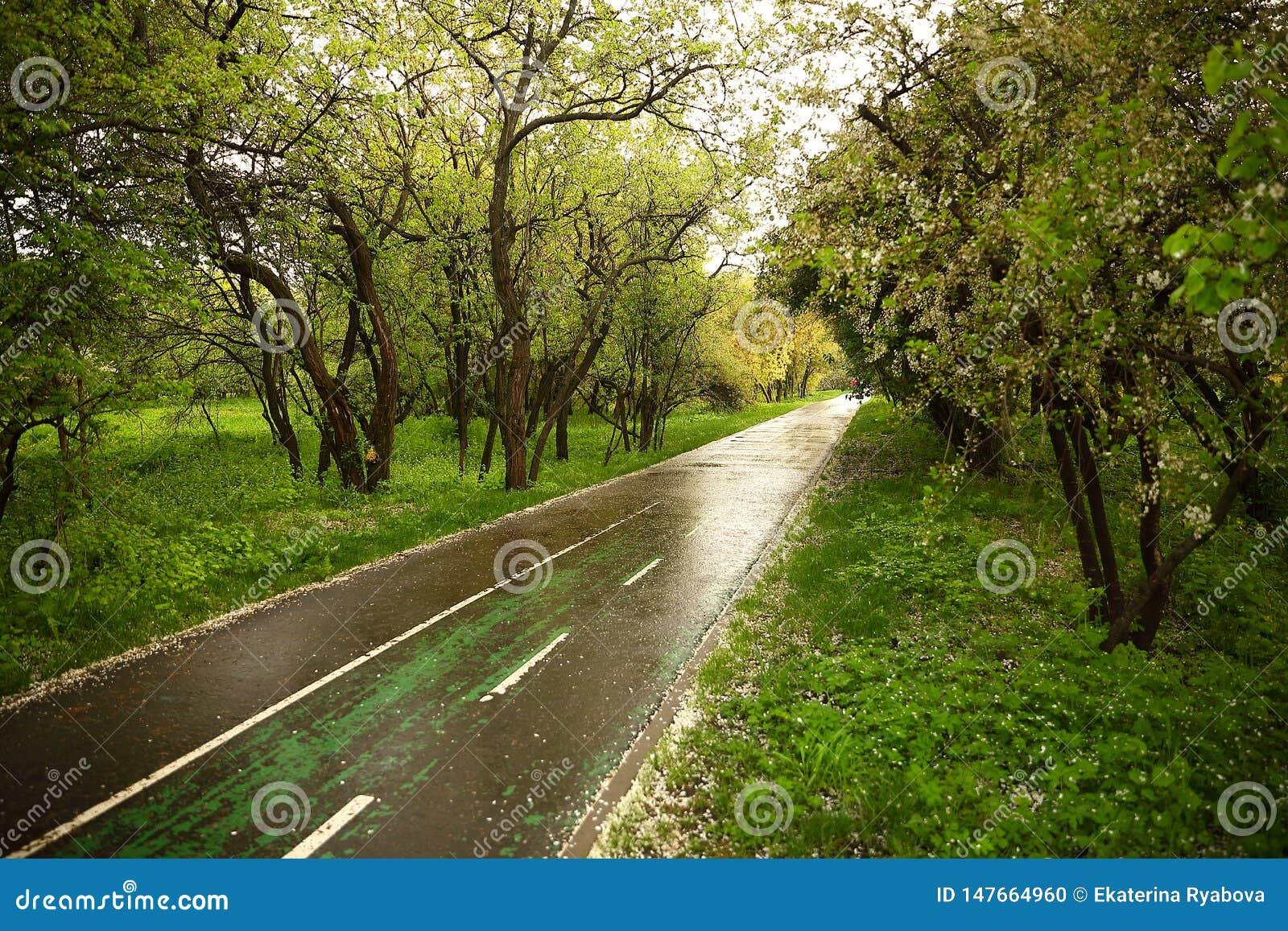 Una pista que activa mojada después de la lluvia, regada con los pétalos caidos blancos de la cereza