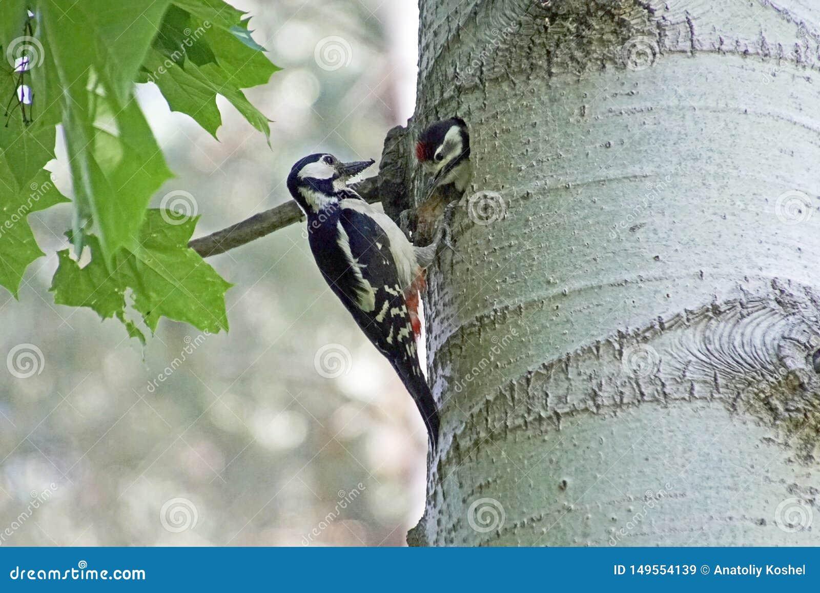 Una pulsación de corriente en su jerarquía en el hueco del álamo temblón alimenta el polluelo