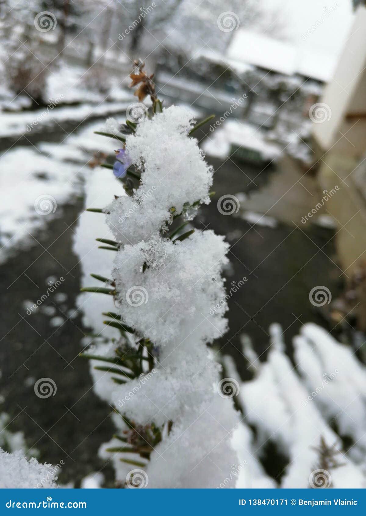 Una rama de la nieve de la lavanda