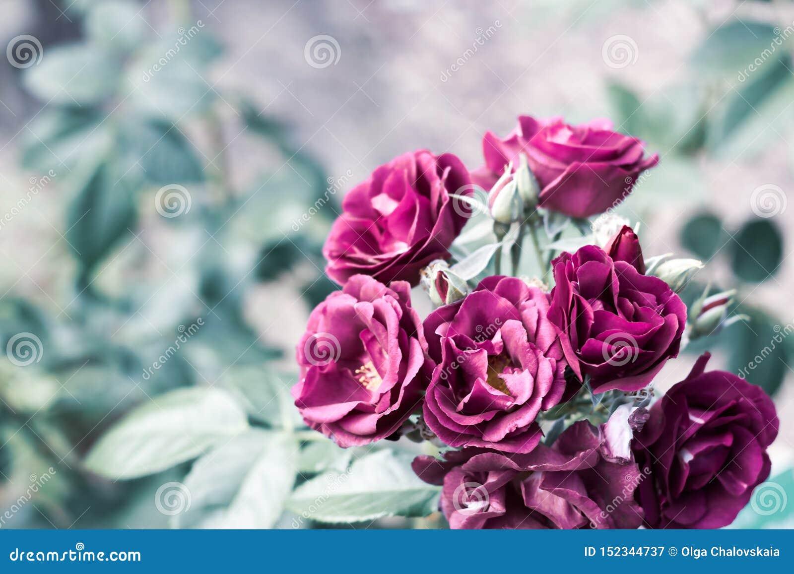 Una rama de rosas púrpuras en jardín verde en fondo natural borroso con el espacio de la copia