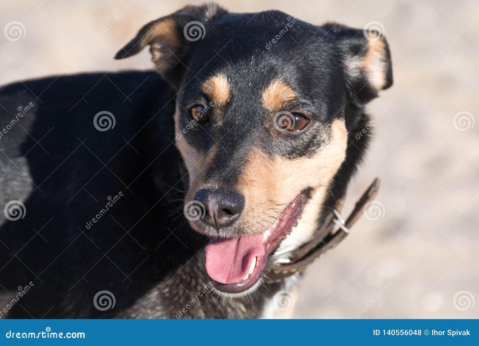 Una raza Liso-cabelluda de Jagdterrier del perro joven camina en una tarde soleada con una novia en una playa arenosa y una hierb