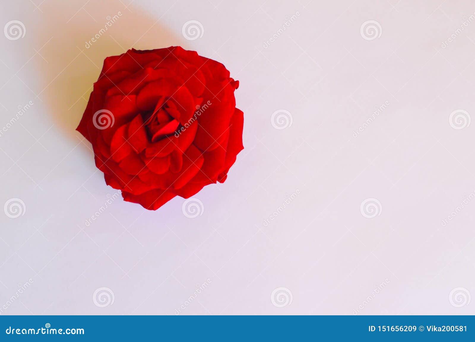 Una rosa del rojo en el fondo blanco