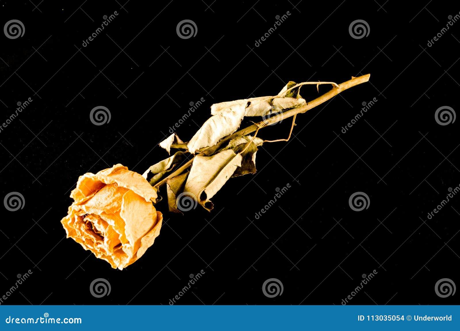 Una rosa secada aislada