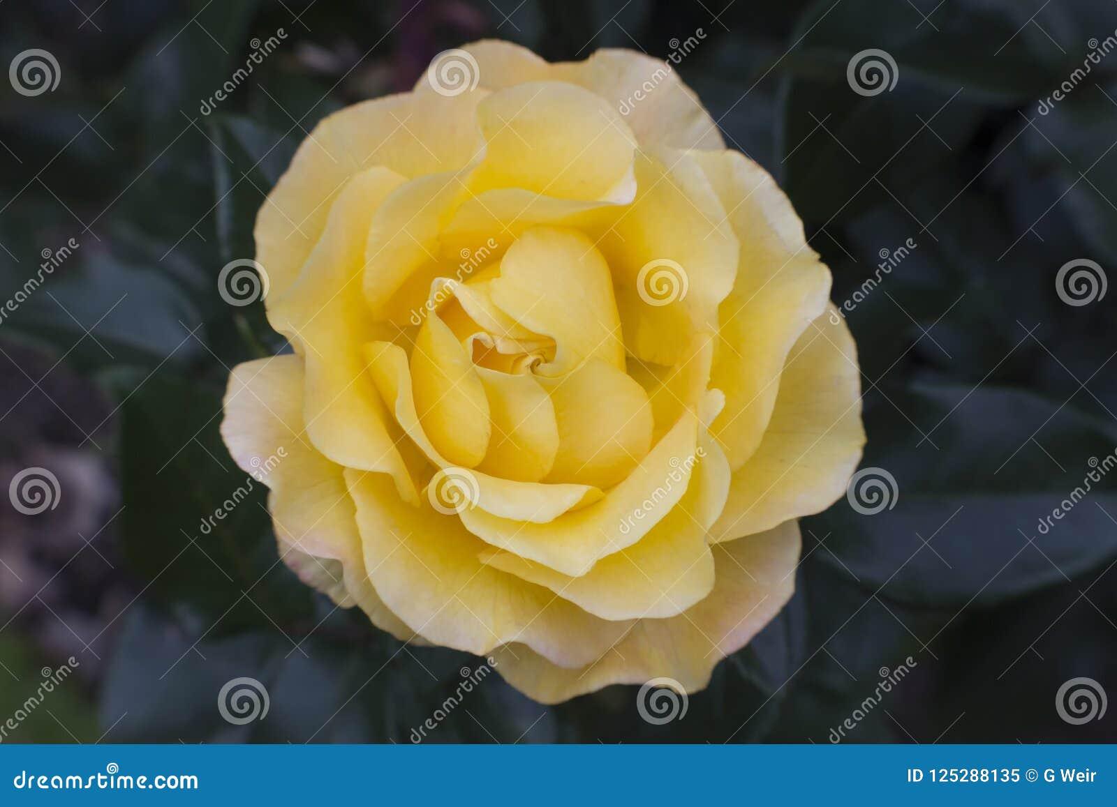 Una Rose amarilla limón brillante
