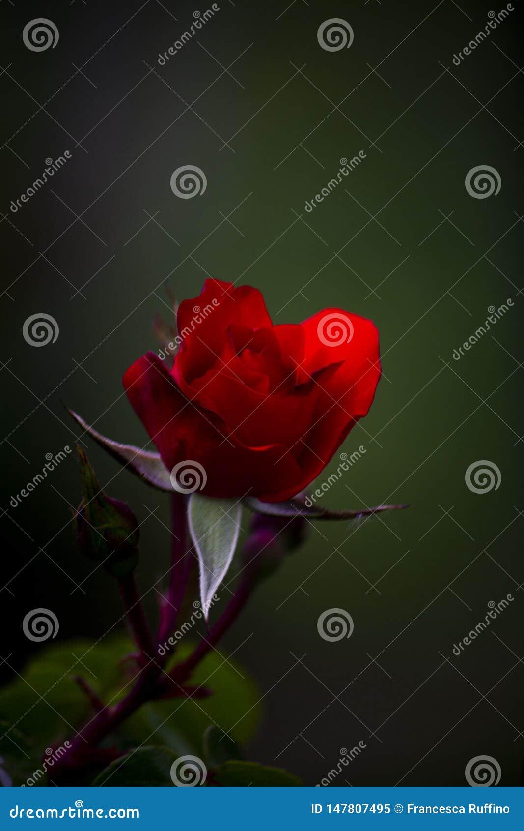 Una Rose roja para usted