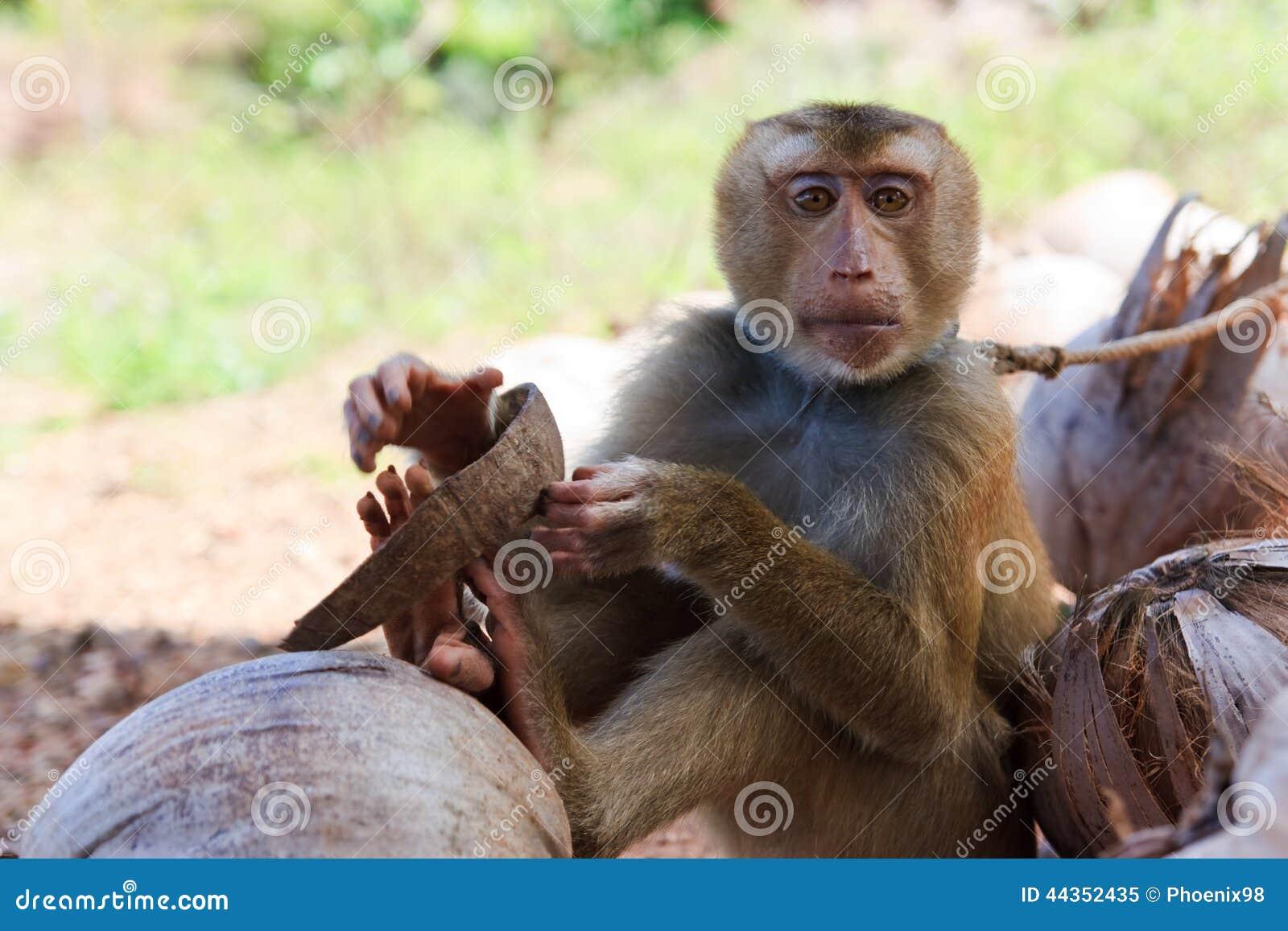 Una scimmia che morde una noce di cocco