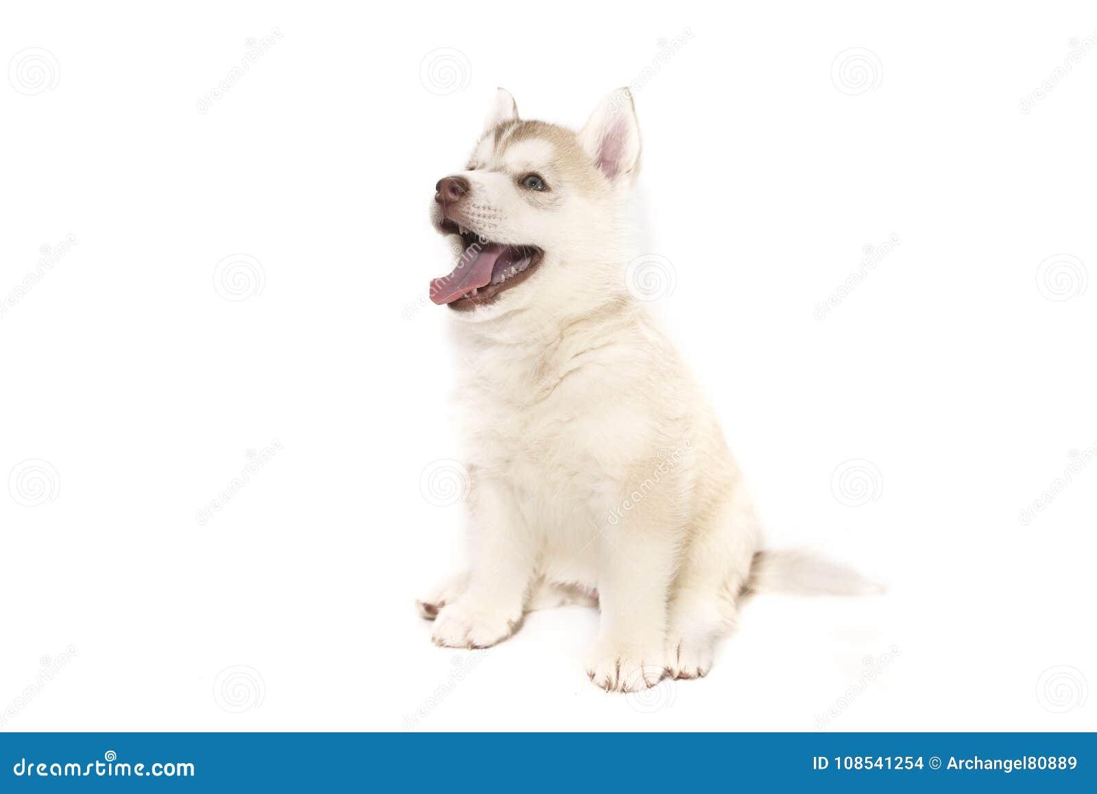 Una sentada fornida del perrito, aislada en el fondo blanco