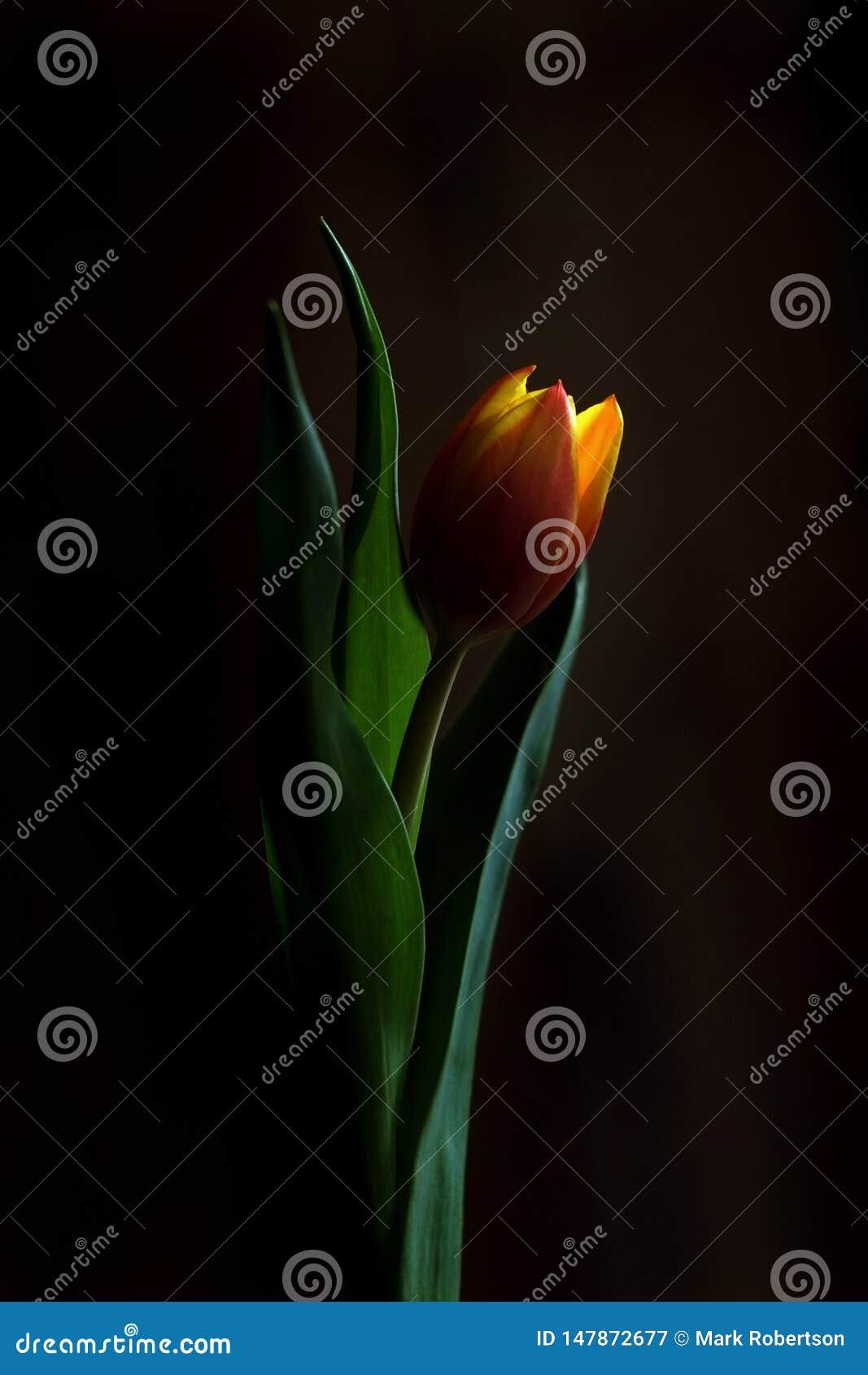 Una singola arancia e un tulipano giallo Romantico e afoso