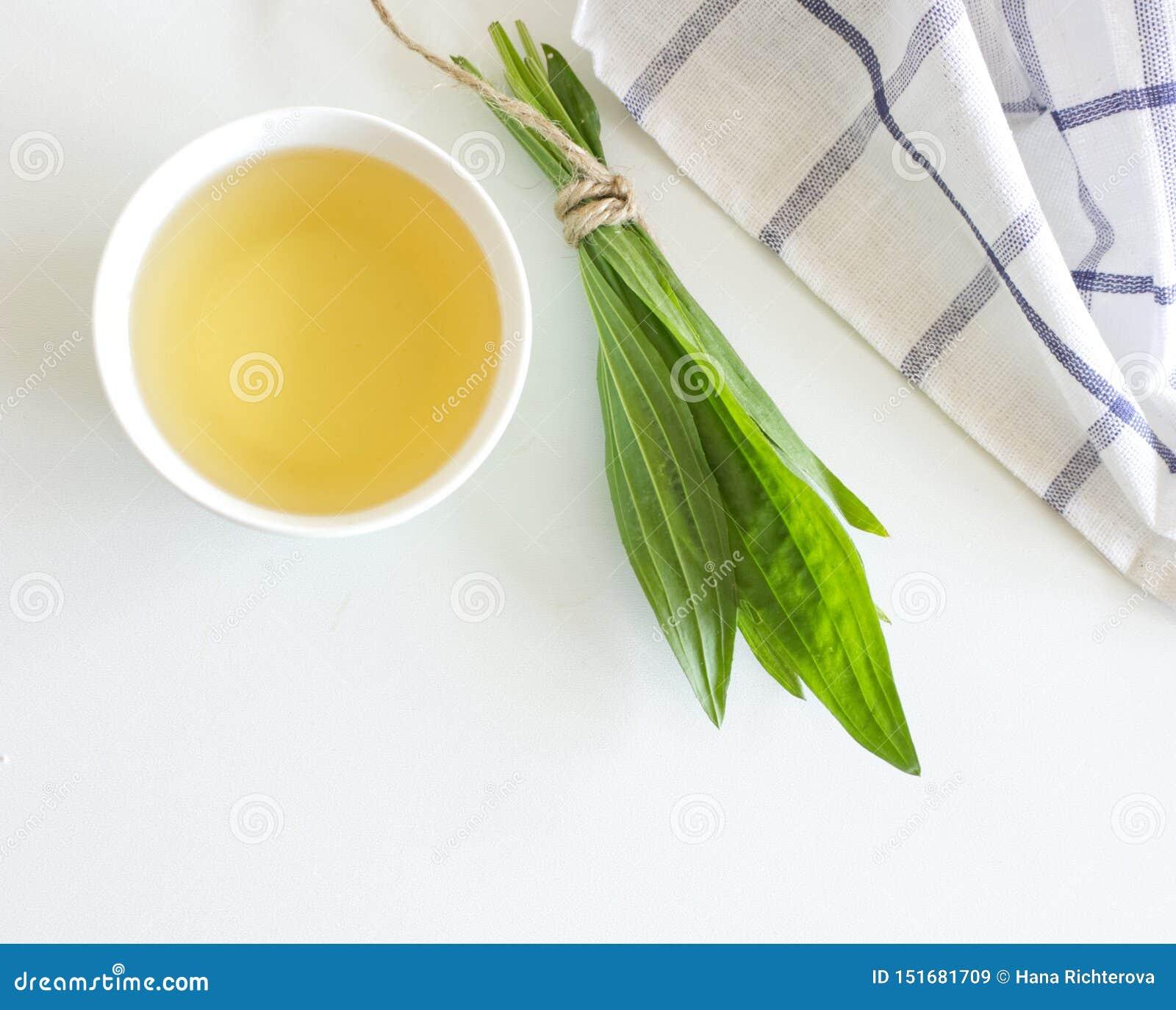 Una taza de infusi?n de hierbas contra tos con las hojas frescas del llant?n del ribwort Medicina de Hebal minimalism Resorte her