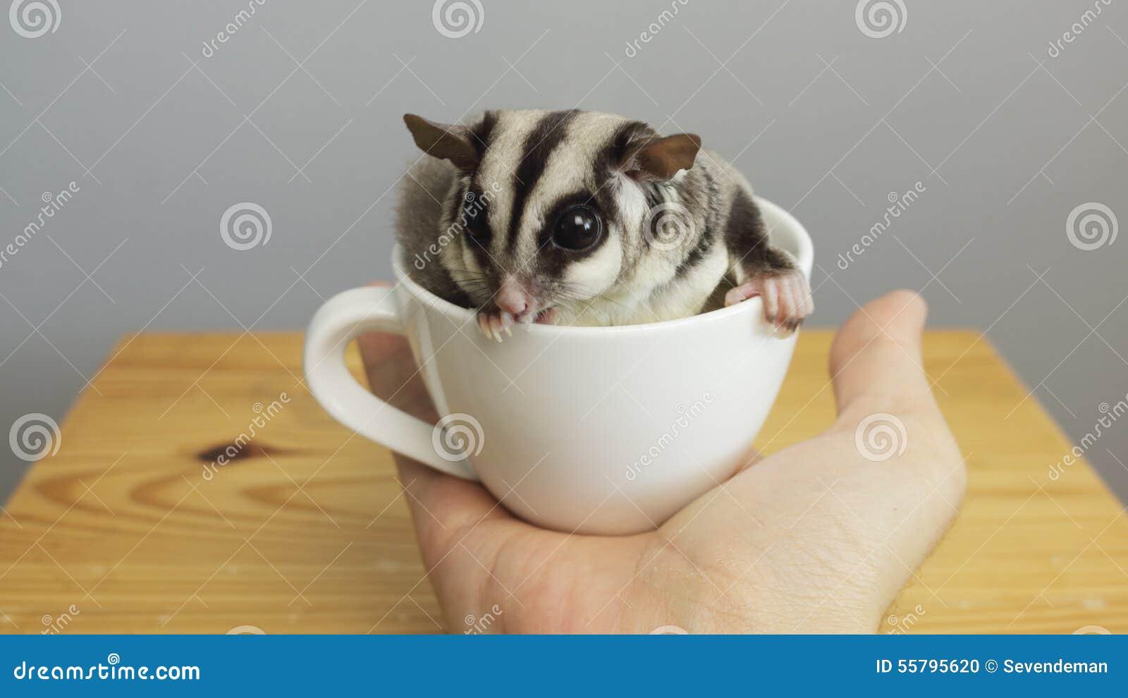 Una tazza di sugarglider