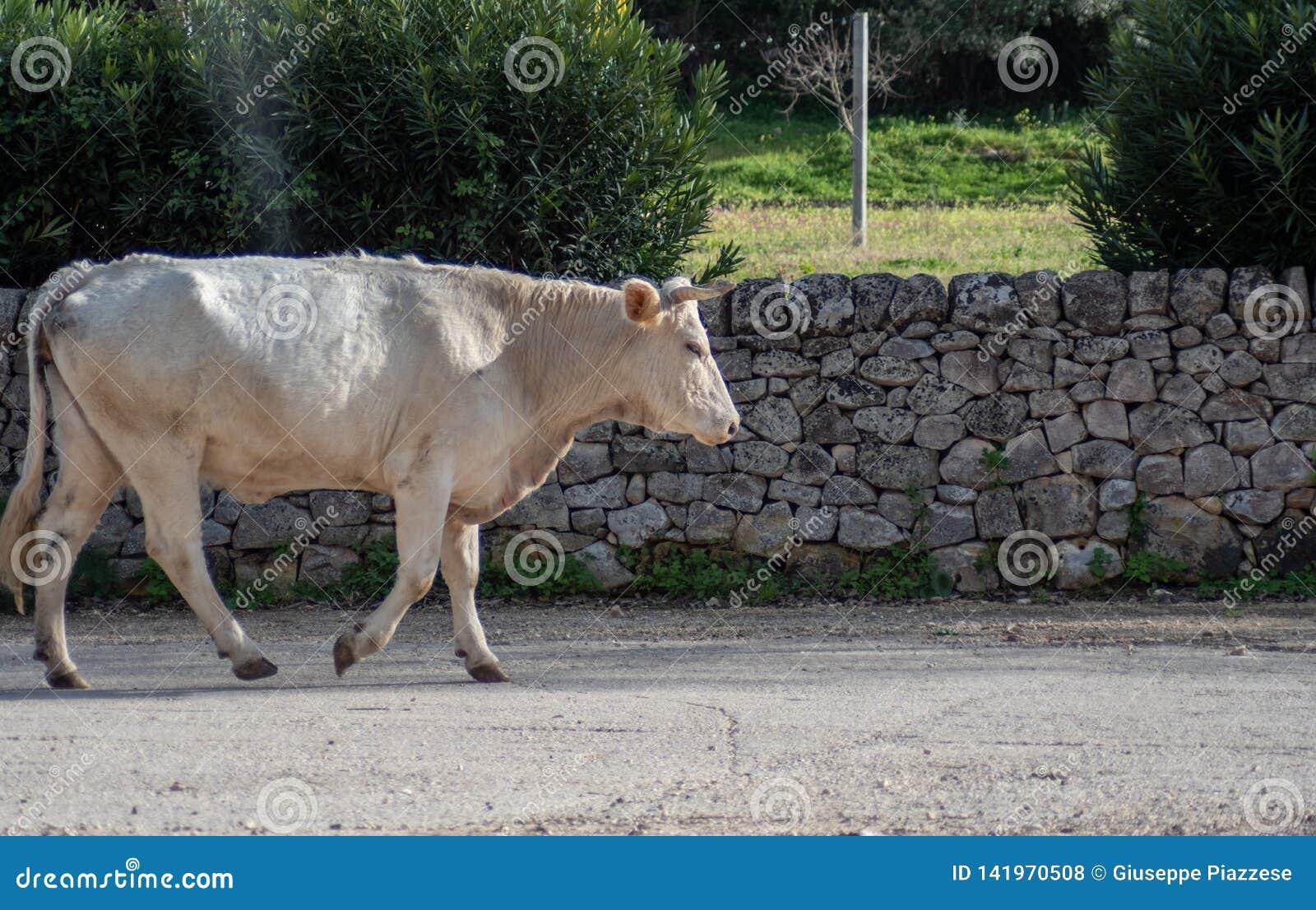 Una vaca mientras que pasta