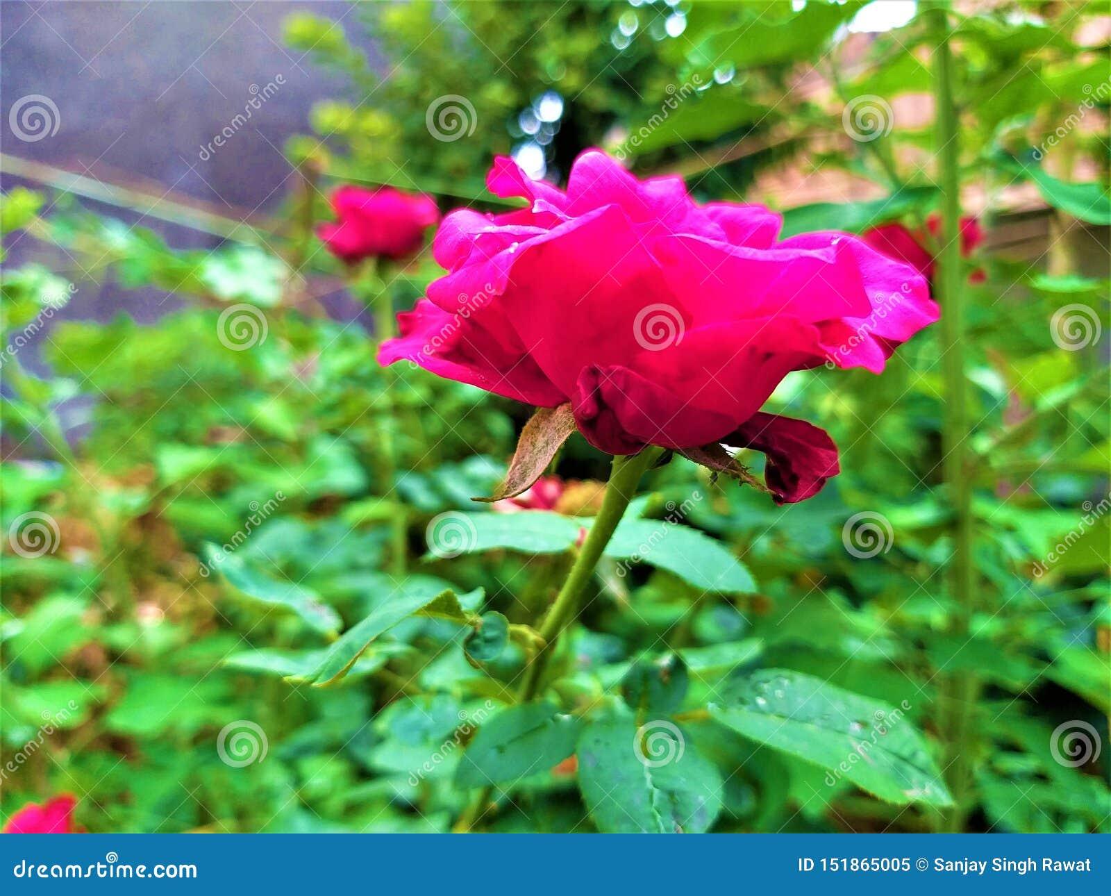 Una vista laterale di belle rosa rossa & foglie verdi