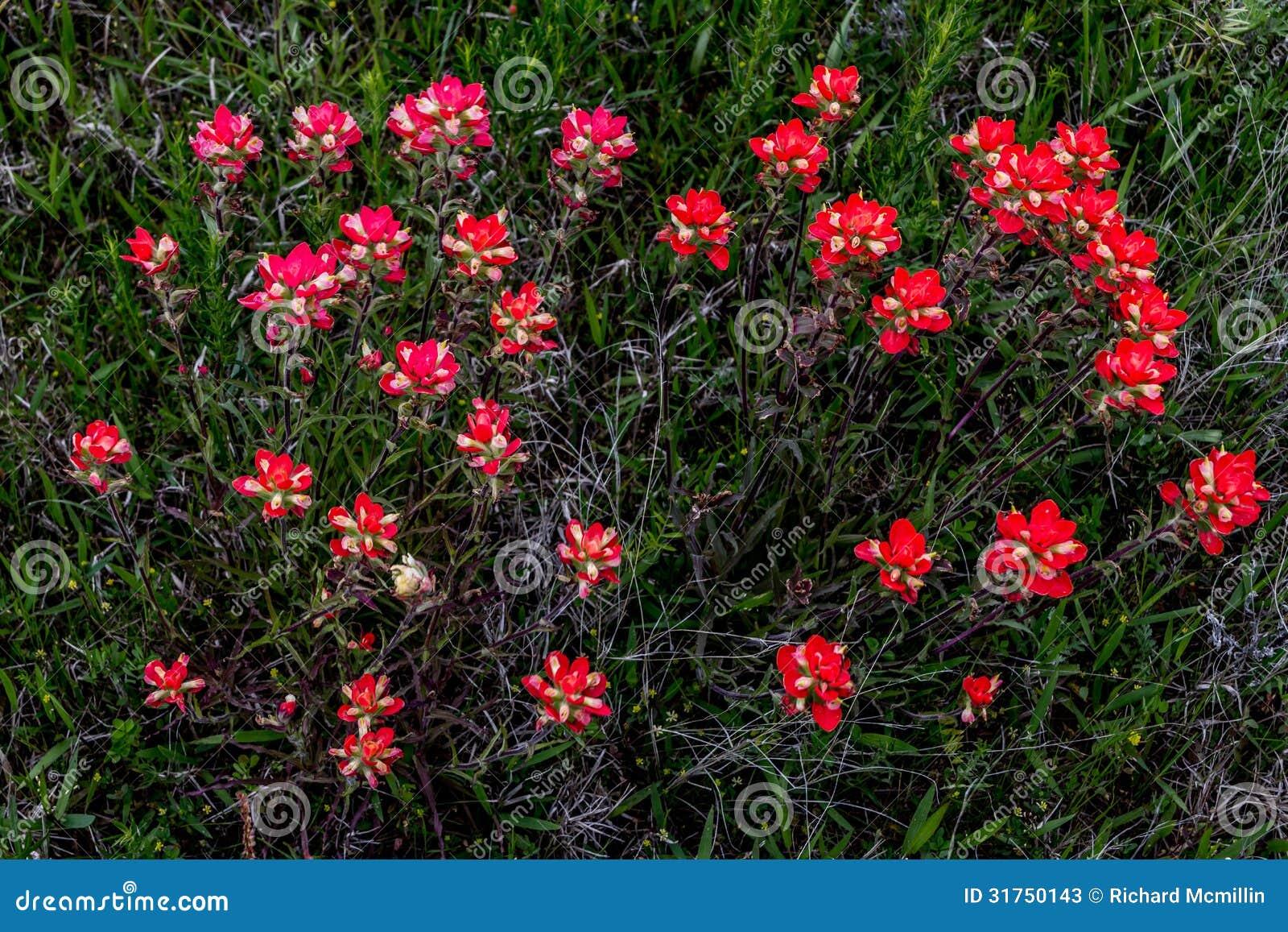 Una vista sopraelevata di un mazzo dei Wildflowers arancio luminosi di Painbrush dell indiano in un prato del bordo della strada i