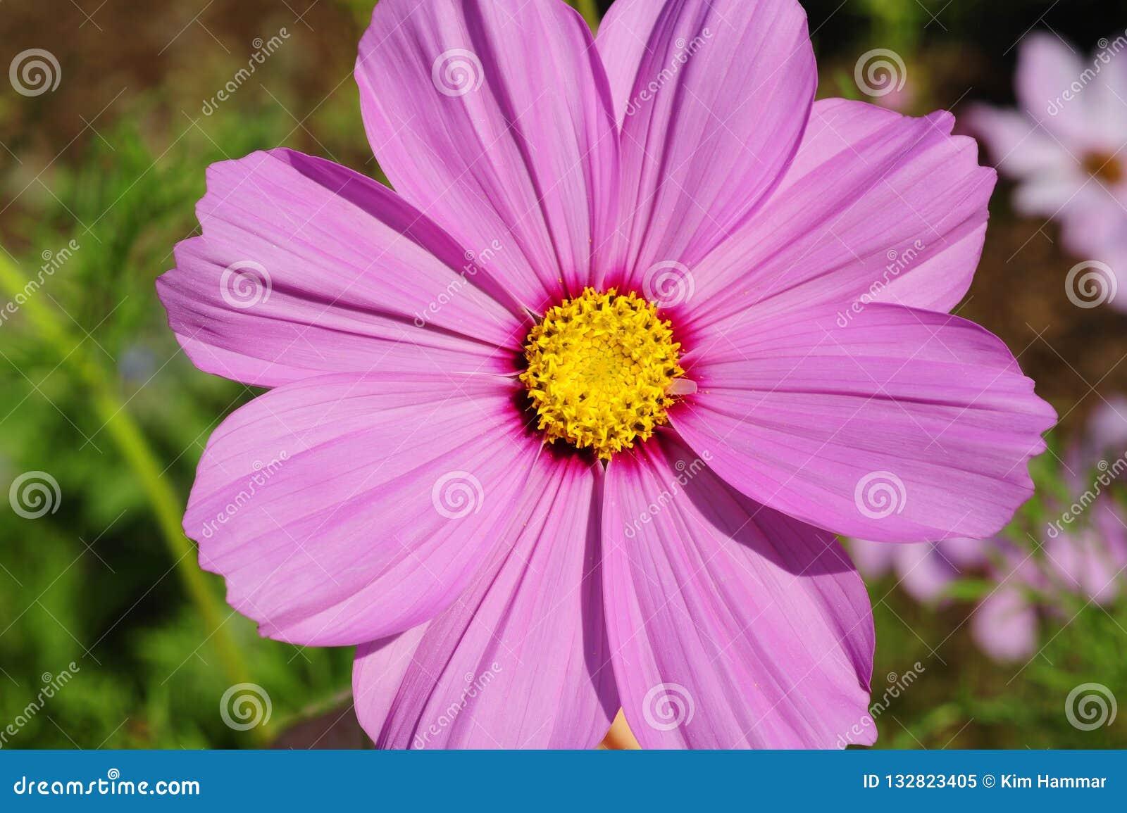 Una vista superiore, macro fine su di un fiore porpora dell universo in fioritura